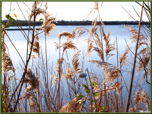 Roseaux et arbrisseaux en bordure d'un réservoir, Sentier du Littoral, secteur Port du Teich en longeant La Leyre, Le Teich, Bassin d'Arcachon (33)