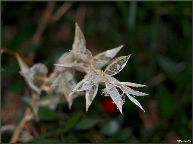 Comme une dentelle, Fragon Petit-Houx en tenue hivernale, flore Bassin d'Arcachon (33)
