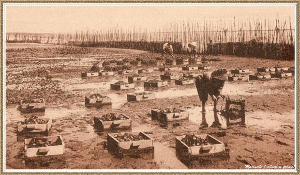 Gujan-Mestras autrefois : Ramassage des huîtres sur un parc, Bassin d'Arcachon (carte postale, collection privée)