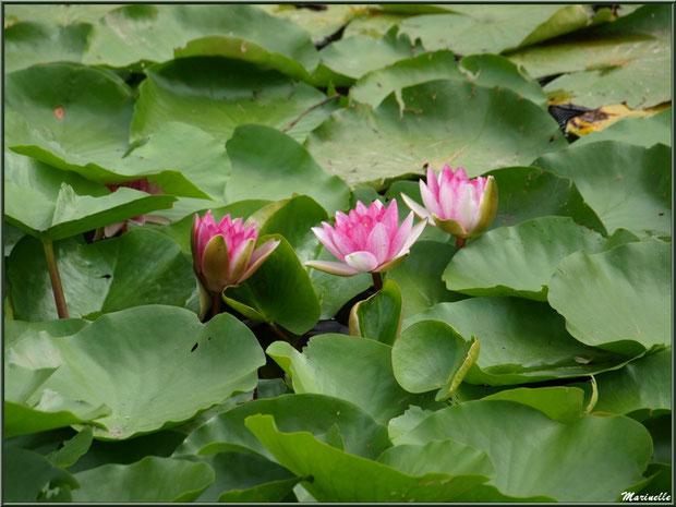 Nénuphars roses en famille sur un plan d'eau