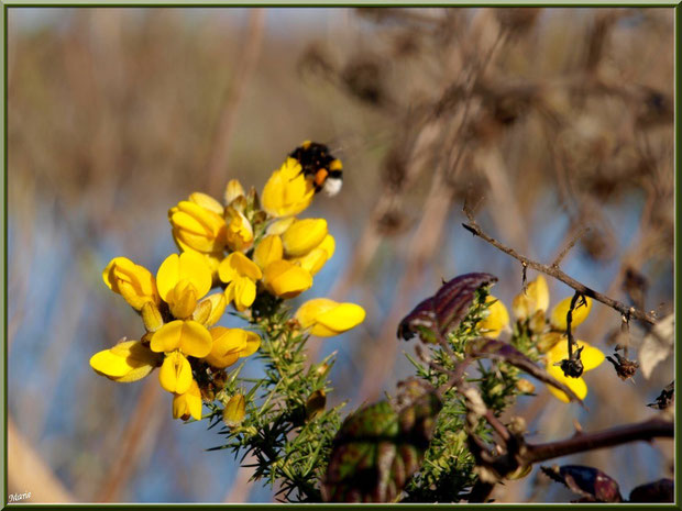 Ajonc en fleurs, bourdon butineur et roncier en bordure du Sentier du Littoral, secteur Moulin de Cantarrane, Bassin d'Arcachon