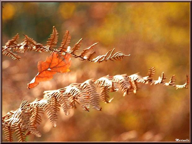 Fougère automnale et feuille de chêne suspendue, en forêt sur le Bassin d'Arcachon (33)