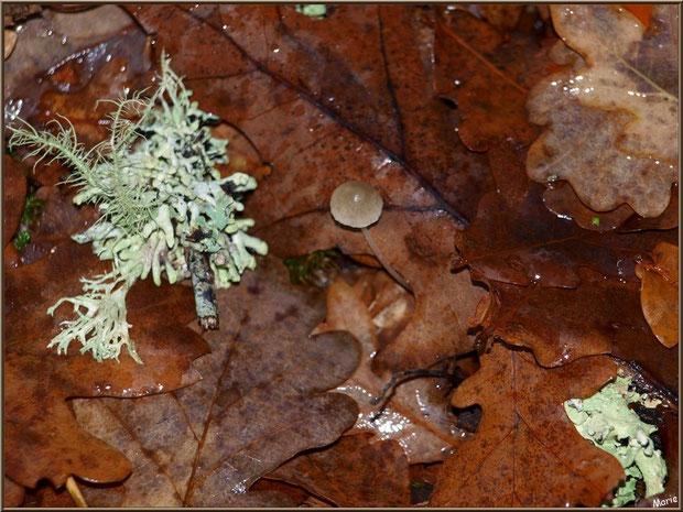 Coprin Desséminé sur lit de mousse et feuilles chênes automnales après ondée, en forêt sur le Bassin d'Arcachon
