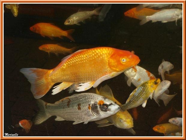 Enormes poissons dans un aquarium