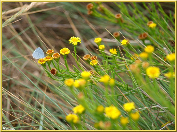 Inule ou Inule Perce-Pierre ou Inule Fausse Criste avec papillon Azuré, flore Bassin d'Arcachon (33)