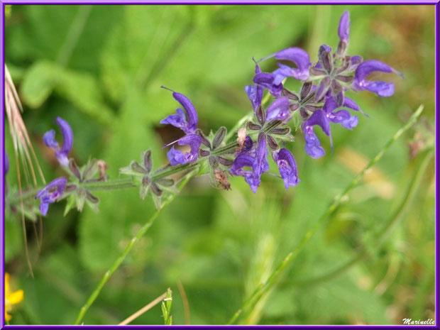 Sauge des Prés, flore Bassin d'Arcachon (33)