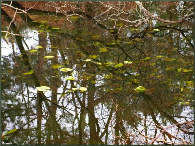 Feuilles de nénuphars en hiver au fil du Canal des Landes et reflets au Parc de la Chêneraie à Gujan-Mestras (Bassin d'Arcachon)