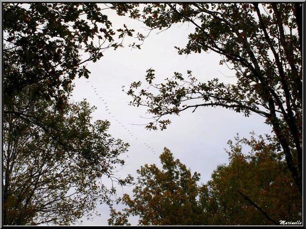 L'hiver s'annonce... vol de grues au-dessus de la forêt, en partance vers les pays chauds !