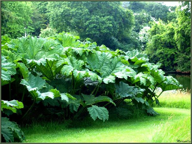 Le Grand Etang : Gunnera manicata ou Rhubarbes géantes du Brésil - Les Jardins du Kerdalo à Trédarzec, Côtes d'Armor (22)