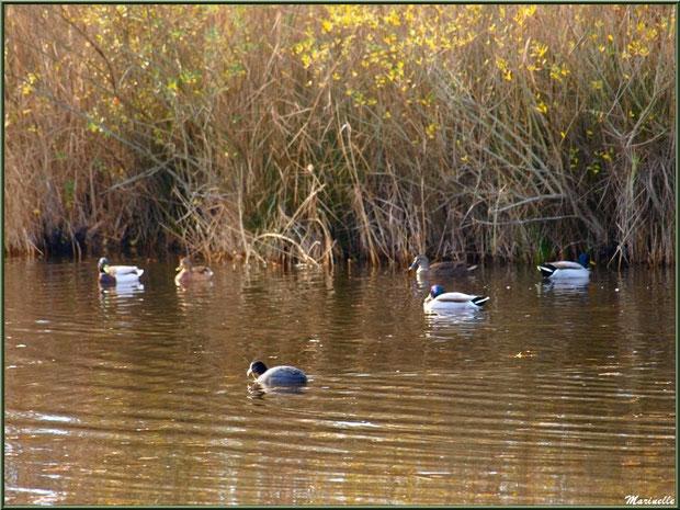 Canards et foulque dans un réservoir, Sentier du Littoral, secteur Port du Teich en longeant La Leyre, Bassin d'Arcachon (33)