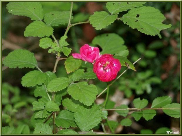 Rosier Pompon sauvage, flore Bassin d'Arcachon (33)