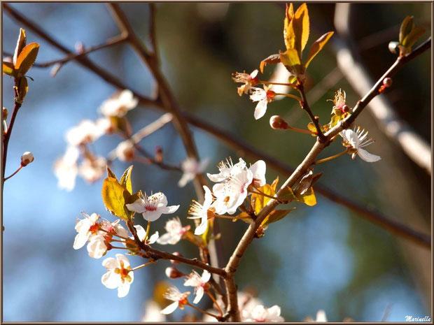 Arbirsseau en fleurs printanières au Parc de la Chêneraie à Gujan-Mestras (Bassin d'Arcachon)