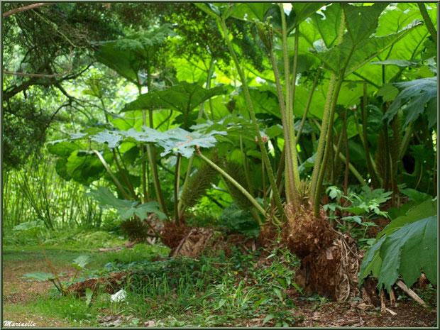 Le sentier de la Vallée du Bas  : Gunnera manicata ou Rhubarbes géantes du Brésil - Les Jardins du Kerdalo à Trédarzec, Côtes d'Armor (22)