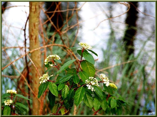 Arbuste en fleurs en bordure du Canal des Landes au Parc de la Chêneraie à Gujan-Mestras (Bassin d'Arcachon)