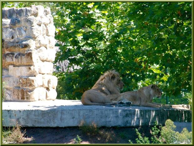 Lion et lionnne, Zoo du Bassin d'Arcachon, La Teste de Buch (33)
