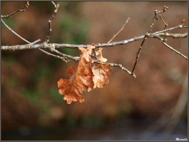 Feuilles de chêne hivernales au Parc de la Chêneraie à Gujan-Mestras (Bassin d'Arcachon)