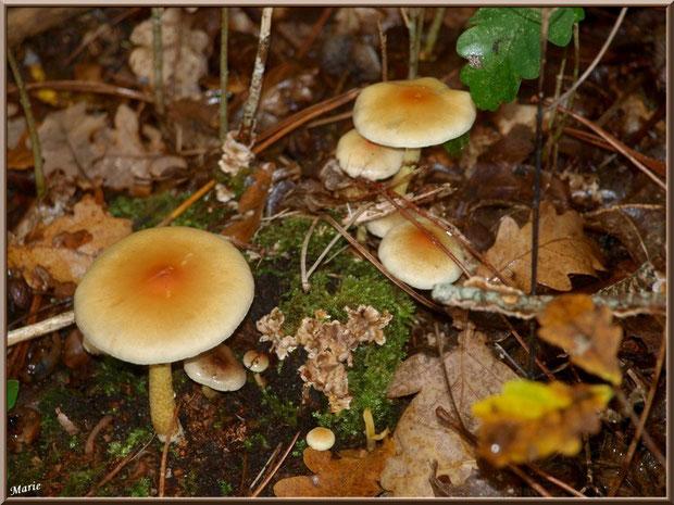 Hypholomes Stérée sur tronc moussu en forêt sur le Bassin d'Arcachon