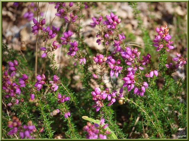 Bruyères en fleurs au Parc de la Chêneraie à Gujan-Mestras (Bassin d'Arcachon)