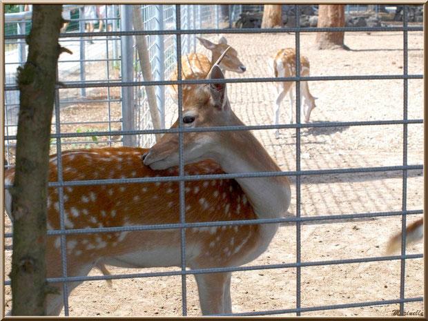 Daims dans leur enclos, Zoo du Bassin d'Arcachon, La Teste de Buch (33)