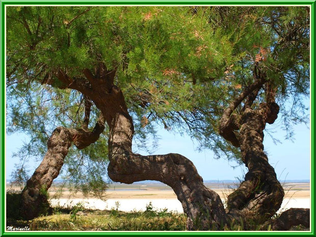 Vieux Tamaris ou Tamarix Gallica aux tronc tortueux en bordure de plage, flore Bassin d'Arcachon (33)