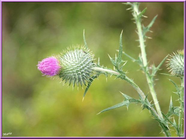 Fleur de chardon dans la garrigue des Alpilles (Bouche du Rhône)
