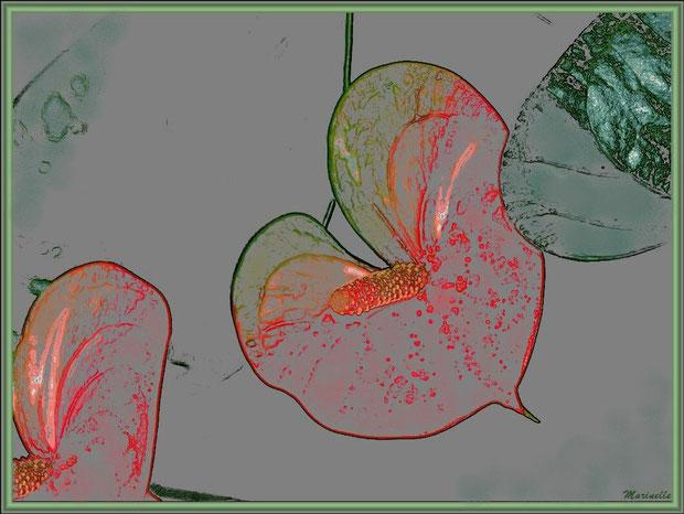 Fleurs d'Anthurium