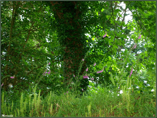 Le sentier de la Vallée du Bas : Digitalis purpurea (Digitales pourpre) et Reseda lutea (Réséda jaune ou Réséda sauvage) en fleurs - Les Jardins du Kerdalo à Trédarzec, Côtes d'Armor (22)