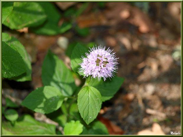Menthe sauvage en fleur au Parc de la Chêneraie à Gujan-Mestras (Bassin d'Arcachon)