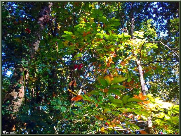 Méli mélo forestier automnal : chênes, houx avec ses boules et châtaignier, forêt sur le Bassin d'Arcachon (33)