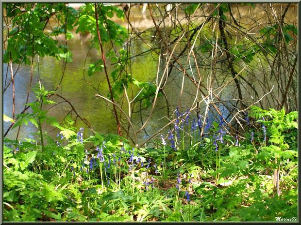 Jacinthes des bois, verdure et reflets en bordure de La Leyre, Sentier du Littoral au lieu-dit Lamothe, Le Teich, Bassin d'Arcachon (33)