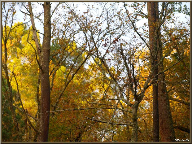 Concerto de chênes et de pins en automne, forêt sur le Bassin d'Arcachon (33)