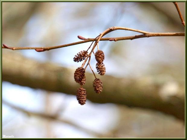 Aulne hivernal avec ses petites pignes au Parc de la Chêneraie à Gujan-Mestras (Bassin d'Arcachon)