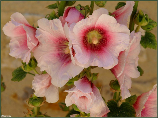 Roses trémières dans une ruelle à Talmont-sur-Gironde, Charente-Maritime