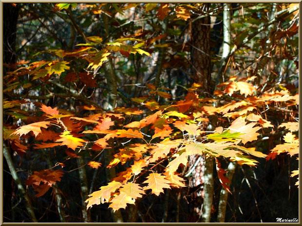 Méli mélo forestier : chêne automnal et pins maritimes, forêt sur le Bassin d'Arcachon (33)