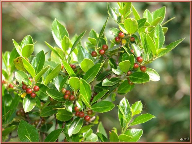 Lentiste ou pistachier lentiste dans la garrigue des Alpilles (Bouche du Rhône)
