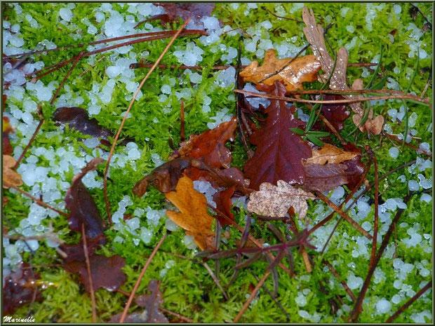 Feuilles de chêne et aiguilles de pin sur tapis moussu après tombée neige-grêle, forêt sur le Bassin d'Arcachon (33)