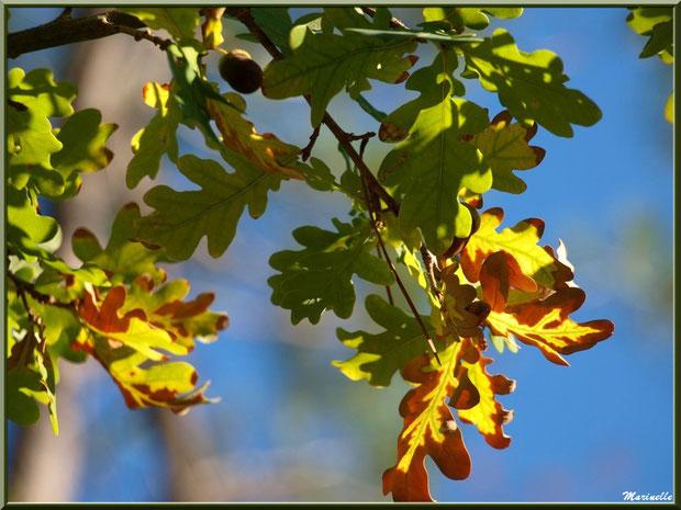 Feuilles de chêne automnal au soleil, forêt sur le Bassin d'Arcachon (33)