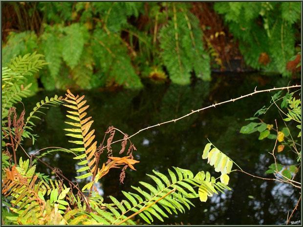 Fougères automnales en bordure du Canal des Landes au Parc de la Chêneraie à Gujan-Mestras (Bassin d'Arcachon)