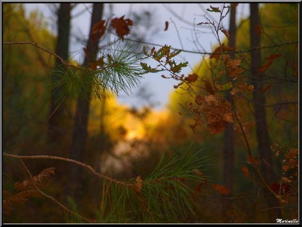 Branches de chêne et pin ave fougères en automne sur fond de soleil couchant, forêt sur le Bassin d'Arcachon (33)