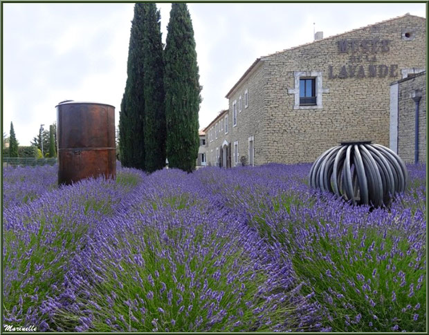 """Le """"Musée de la Lavande"""" à Coustellet (84) : jardin et lavandes en fleurs"""