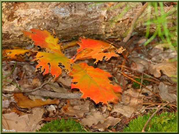 Branche et feuilles de chêne en dentelle automnale sur tapis de mousse, forêt sur le Bassin d'Arcachon (33)