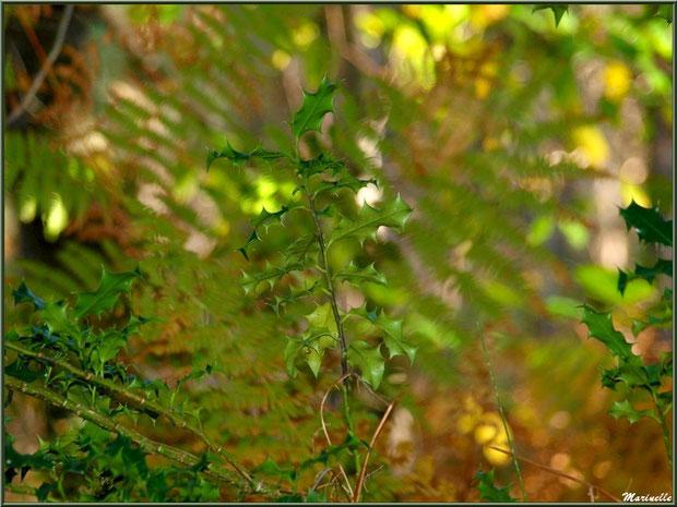 Houx sur fond de fougères, forêt sur le Bassin d'Arcachon (33)