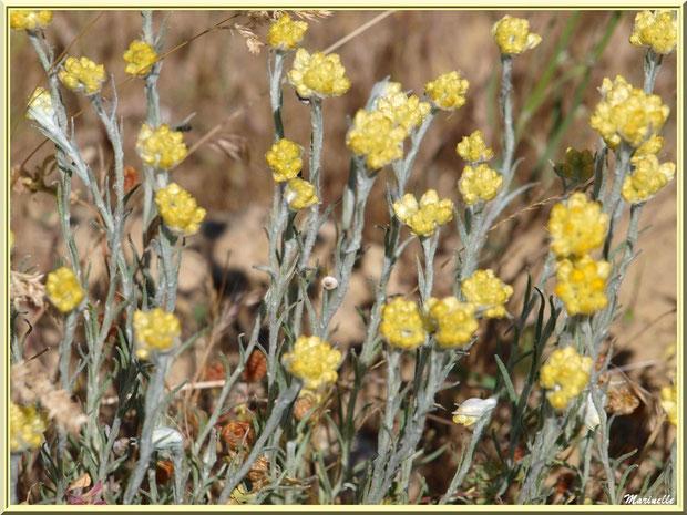 Immortelles des Prés en fleurs dans la campagne environnante du village de Cucuron, Lubéron (84)