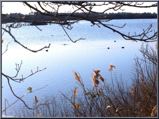 Chênes, roseaux et cotonniers en hiver en bordure d'un réservoir et quelques foulques au fil de l'eau, Sentier du Littoral, secteur Port du Teich en longeant La Leyre, Le Teich, Bassin d'Arcachon (33)