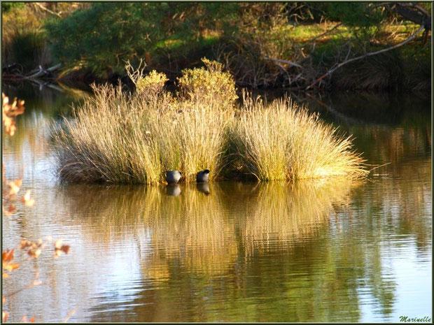 Couple de foulques au pied d'une touffe d'herbacées dans un réservoir, Sentier du Littoral, secteur Port du Teich en longeant La Leyre, Le Teich, Bassin d'Arcachon (33)