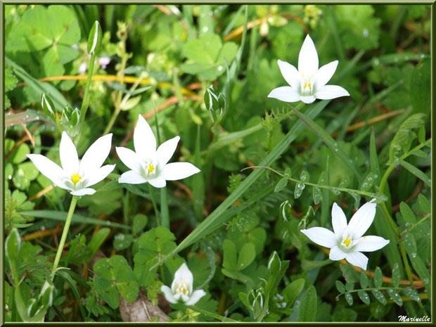 Ornithogale en ombrelle ou Dame de Onze Heures, flore Bassin d'Arcachon (33)