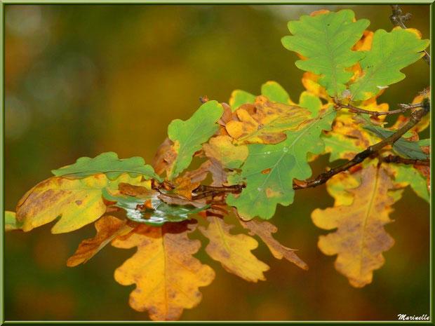 Feuilles de chêne automnales et quelques gouttes de pluie, forêt sur le Bassin d'Arcachon (33)