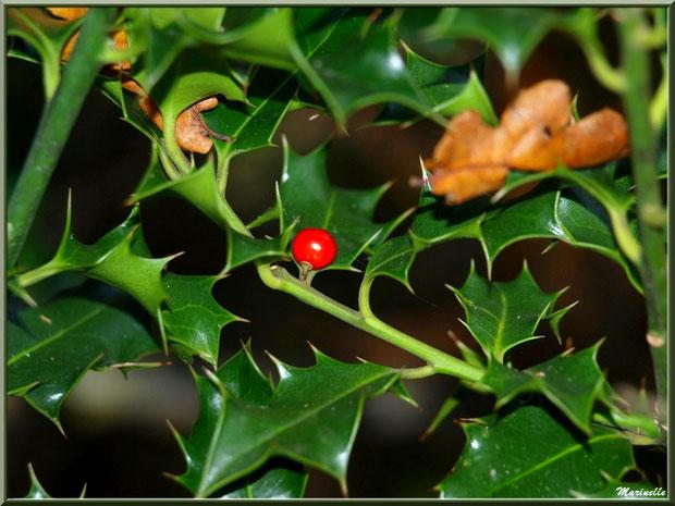 Branche de houx fleuri et feuilles de chênes automnales épinglées, forêt sur le Bassin d'Arcachon (33)