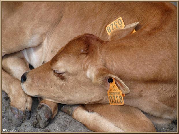 Veau endormi, Parc de la Coccinelle, mini-ferme à Gujan-Mestras, Bassin d'Arcachon (33)
