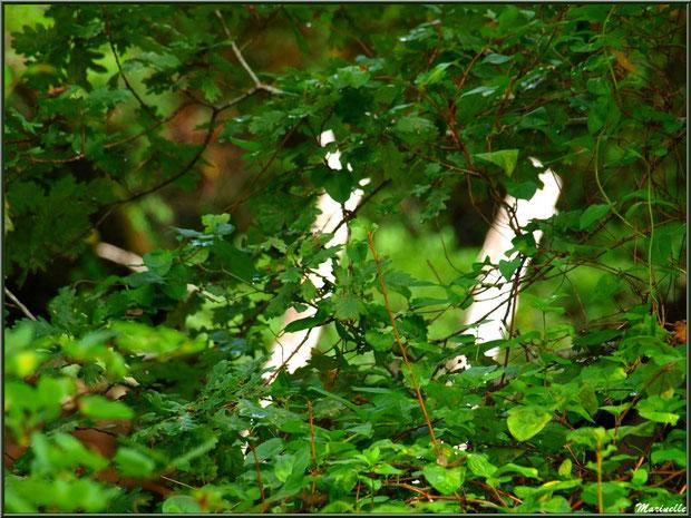 Derrière les arbres... les arbres, en bordure de La Leyre, Sentier du Littoral au lieu-dit Lamothe, Le Teich, Bassin d'Arcachon (33)